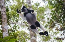 Indri zu der Zeit des Springens von Baum zu Baum madagaskar Nationalpark Mantadia Lizenzfreie Stockfotografie