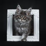 Indrukwekkend blauw zilveren die Maine Coon-kattenkatje, op zwarte achtergrond wordt geïsoleerd royalty-vrije stock afbeelding