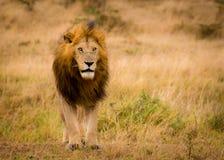 Indrukwekkend wild mannetje van Lion Panthera-leo van het natuurreservaat Mara North Conservancy in Kenia stock afbeelding