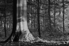 Indrukwekkende beukboom Stock Afbeeldingen
