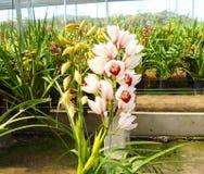 Indrukwekkende Orchidee stock afbeeldingen