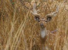 indu jeleni zatrzymał Zdjęcia Stock