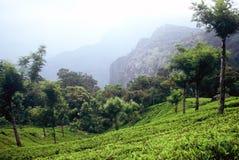 indu teaplantation fotografia stock