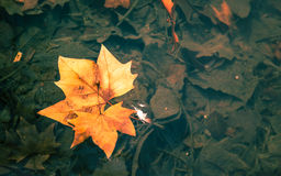 Indus leaves. Floating in the water Stock Images