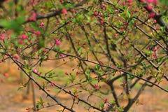 Industria del fiore-fiore e della piantina del crabapple di Corridoio Fotografia Stock Libera da Diritti