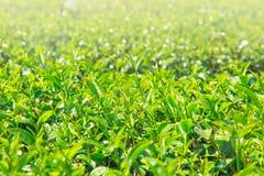 Industria di agricoltura del fondo della pianta di tè in Tailandia Immagini Stock