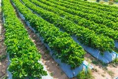 Industria di agricoltura della pianta di fragola Fotografia Stock