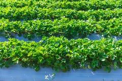 Industria di agricoltura della pianta di fragola Immagine Stock