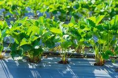 Industria di agricoltura della pianta di fragola Fotografia Stock Libera da Diritti