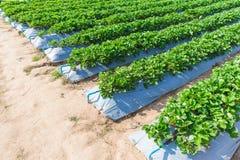 Industria di agricoltura della pianta di fragola Fotografie Stock