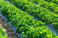 Industria di agricoltura della pianta di fragola in Asia Fotografia Stock Libera da Diritti