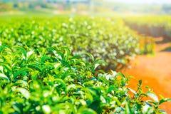Industria di agricoltura della pianta di tè in Tailandia Immagini Stock Libere da Diritti