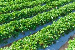 Industria di agricoltura della pianta di fragola Immagini Stock Libere da Diritti