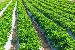 Industria di agricoltura della pianta di fragola in Asia Immagini Stock Libere da Diritti