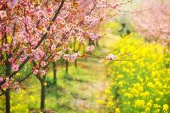 Industria pesca e del fiore-fiore e della piantina rosa della prugna Fotografie Stock Libere da Diritti