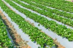 Industria Tailandia di agricoltura della pianta di fragola Immagini Stock