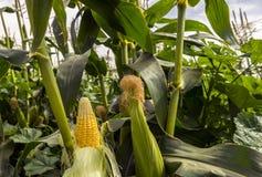 Industria tropicale di agricoltura in Medio Oriente Fotografia Stock Libera da Diritti