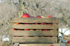 Industrial apples in a wooden crate Stock Image
