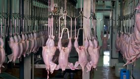 An industrial carousel full of hanging cleaned off chickens at food plant.