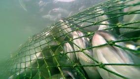 Industrial catch salmon stock video