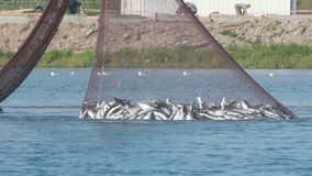 Industrial catch salmon stock video footage
