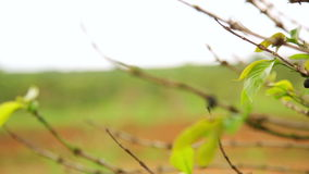 Industrial coffee tree plantation,farm,garden,Laos stock video footage