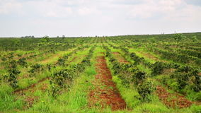 Industrial coffee tree plantation,farm,garden,Laos stock footage