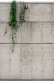 Industrial concrete wall with ivy hanging Stock Photos