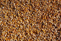 Industrial Corn. Texture shot of bright yellow industrial corn royalty free stock image