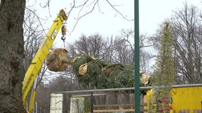 Industrial crane lifts up a fir tree with its roots wrapped and branches tied up. With rope. preparing trees for new landscape design in city park. nature stock video
