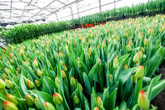 Industrial cultivation of flowers tulips in big greenhouse Stock Photo