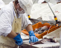 Industrial fish filleting Stock Image