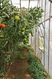 Industrial Green House. End of an Industrial Green House with Tomato Plants and Fruits Stock Photography