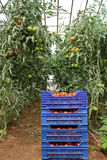 Industrial Greenhouse. Freshly Harvested Tomatoes in Blue Plastic Vegetable Crates in an Industrial Greenhouse Stock Image