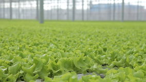 In the industrial greenhouse, lettuce leaves grow hydroponically. stock video