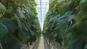In the industrial greenhouse, a plantation on hydroponics is growing. stock video