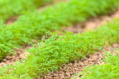 Industrial growth of dill in a greenhouse Stock Images