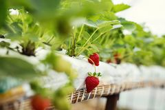 Industrial growth of fresh strawberries grown in plantation in greenhouses stock images