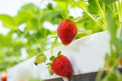 Industrial growth of fresh strawberries grown in plantation in greenhouses stock photos