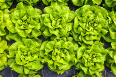Industrial growth of lettuce in a greenhouse Royalty Free Stock Photo