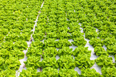 Industrial growth of lettuce in a greenhouse Royalty Free Stock Image