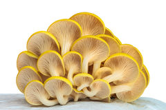 Industrial growth of oyster mushrooms on white plastic Stock Photo