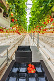 Industrial growth of strawberries in a greenhouse Stock Photography