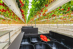 Industrial growth of strawberries in a greenhouse Stock Images