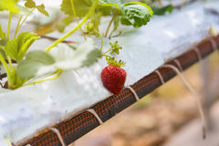 Industrial growth of strawberries,hydroponics strawberry row in Royalty Free Stock Photo