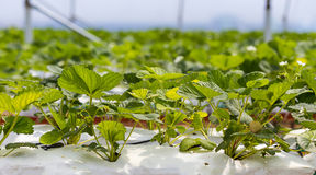 Industrial growth of strawberries,hydroponics strawberry row in Stock Photography
