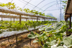 Industrial growth of strawberries,hydroponics strawberry row in Royalty Free Stock Photography
