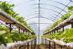 Industrial growth of strawberries,hydroponics strawberry row in Stock Photos