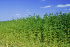 Industrial Hemp Stock Photo