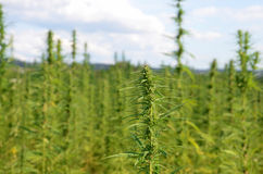 Industrial hemp Stock Image
